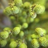 Macro germogli di fiore di colore verde Immagine Stock Libera da Diritti