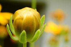 Macro, germoglio giallo timido nell'erba, makro, travi del pupoljak u di uti del ¾ di stidljivi Å Immagini Stock