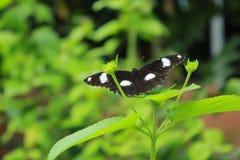 Macro Geschotene Vlinder Ilocos Filippijnen Stock Afbeeldingen