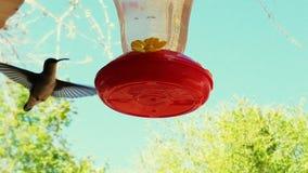 Macro Geschotene Zoemende Vogel Stock Afbeelding