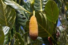Macro giaca della foto sull'albero in isole Canarie, Tenerife Fotografia Stock