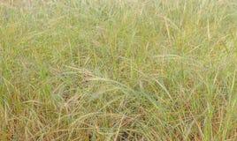 Macro giacimento di grano della foto Inverno di giallo del pane dell'orzo di Spica Immagini Stock