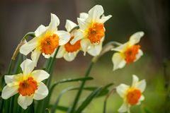 Macro gialla bianca del fiore del narciso per fondo Fotografia Stock