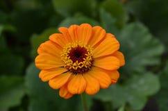 Macro gialla del fiore Fotografia Stock