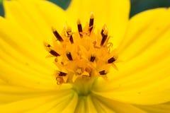 Macro gialla del fiore dell'universo nel giardino Fotografia Stock Libera da Diritti