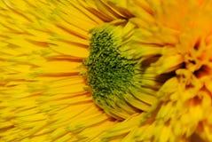 Macro gialla del primo piano del fiore Fotografie Stock Libere da Diritti
