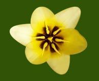 Macro gialla del tulipano Fotografia Stock