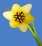 Macro gialla del tulipano Fotografie Stock