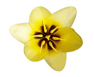 Macro gialla del tulipano Fotografie Stock Libere da Diritti