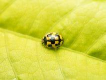 Macro gialla della coccinella Fotografia Stock