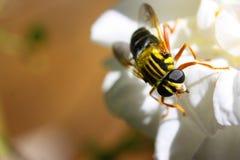 Macro gialla della mosca Fotografie Stock