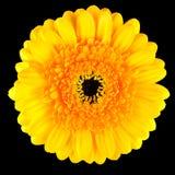 Macro gialla perfetta del fiore della gerbera isolata sul nero Fotografia Stock