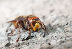 Hornet Royalty Free Stock Photography