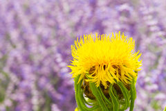 Macro of a giant knapweed Stock Photography