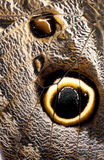 Macro of Giant Owl Butterfly Wing Stock Image