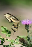Macro of Giant Swallowtail Butterfly and Thistle Royalty Free Stock Images