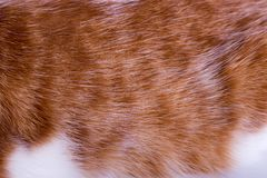 Macro of ginger cat`s hair. Red hair with white spots. Favorite cat close-up Royalty Free Stock Images