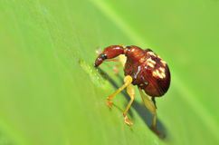 Macro of giraffe weevil Stock Photo