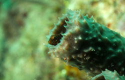 Macro goby fish inside a sponge with detail Royalty Free Stock Image