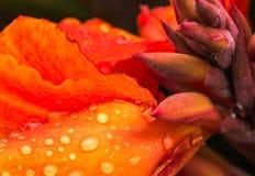 Macro gocce di acqua su un fiore rosso di Canna Fotografia Stock Libera da Diritti