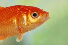 Macro of gold fish royalty free stock photo