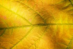 Macro of a golden autumn leaf stock photography