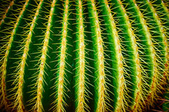Macro of golden barrel cactus. Close-up of golden ball / mother-in-law's cushion stock images