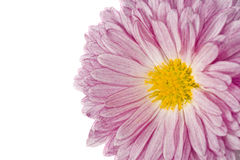 Macro of golden-daisy or chrysanthemum Stock Photos