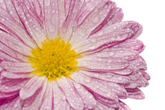 Macro of golden-daisy with droplets Royalty Free Stock Image
