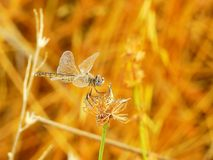 Macro of golden dragonfly stock photo