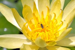 Macro golden lotus Stock Images