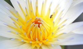 Macro golden lotus Stock Photography