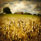 Macro of golden oat ears stock photography