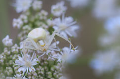 Macro of Goldenrod crab spider Stock Photography