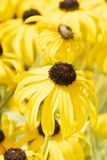 Macro of Goldstrum Black-eyed Susan Flowers in a Cultivated Garden. In Colorado royalty free stock photography