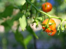 Macro - gotitas de agua en la planta de tomate Imagen de archivo