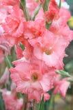 Macro goutte de pluie sur la fleur, fleur de glaïeul Image libre de droits