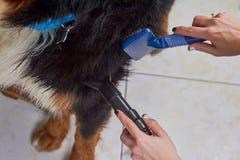 Macro governare del cane, mani femminili Immagine Stock Libera da Diritti