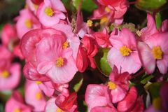 Macro of pink begonia flowers. Macro of gradated pink begonia flowers with yellow stamens and green leaves stock photography