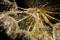 Macro graines de pissenlit avec Waterdrops Image libre de droits