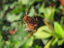 Macro grande de la araña de Ol foto de archivo libre de regalías