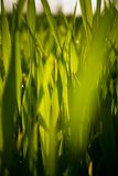 Macro grass blades in sun. Vibrant green blades of grass in the sunlight Stock Photography