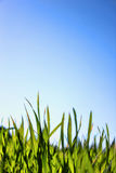 Macro Grass and Blue Sky Stock Photos