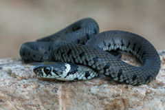 Macro of a grass snake in the nature Royalty Free Stock Photography