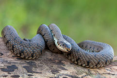 Macro of a grass snake in the nature Royalty Free Stock Photos