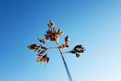 Macro Grass Stalk. 'Barnyard grass' stalk with blue sky Stock Image