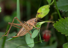 Macro of a grasshoper Royalty Free Stock Images