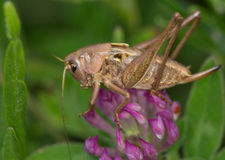 Macro of a grasshoper Royalty Free Stock Photography