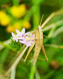 Macro grasshoppe brun Photos stock