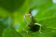 Macro of grasshopper Stock Images